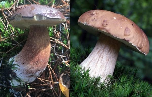 Чем отличается польский гриб (Boletus badius, Imleria badia) от боровика (Boletus edulis) фото