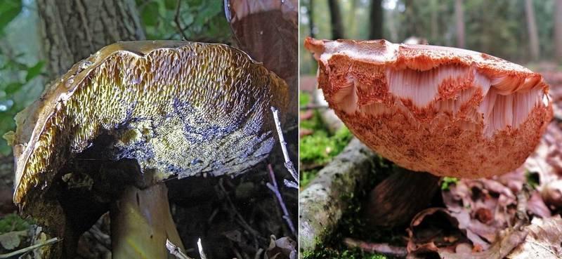 Чем отличается польский гриб (Boletus badius, Imleria badia) от желчного гриба (Tylopilus felleus) фото