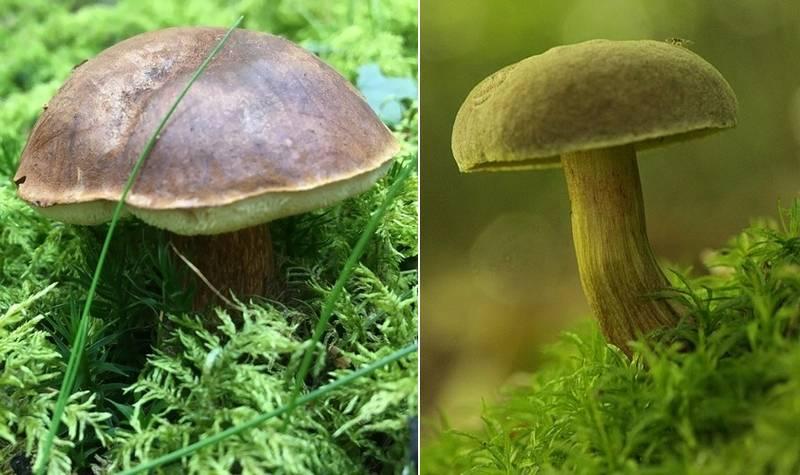 Чем отличается польский гриб (Boletus badius, Imleria badia) от моховика зеленого (Xerocomus subtomentosus) фото