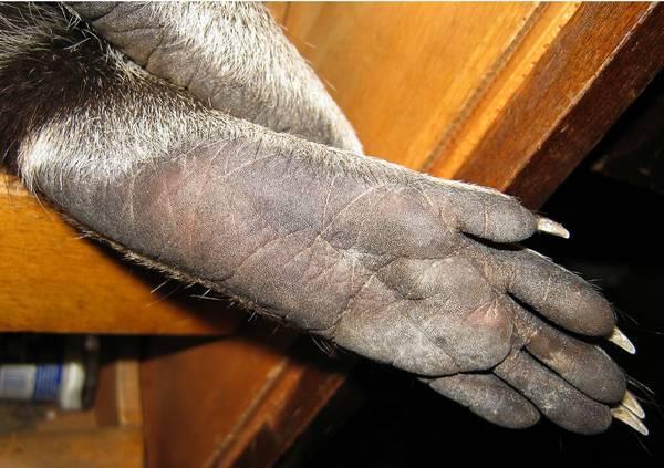 Задняя лапа енота-полоскуна фото (лат. Procyon lotor)