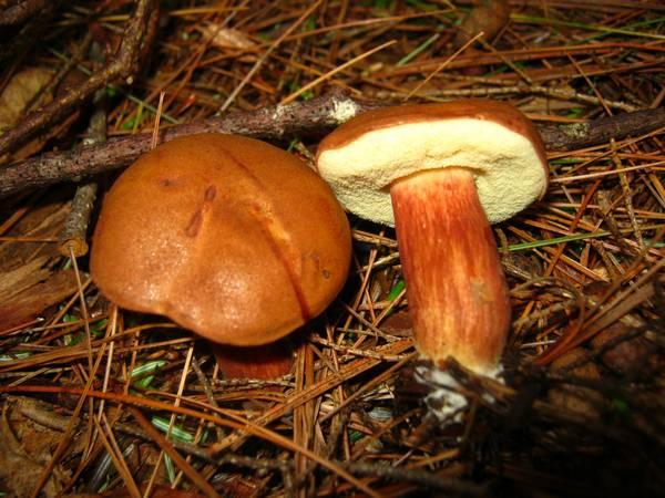 Молодое плодовое тело польского гриба фото (Boletus badius, Imleria badia)