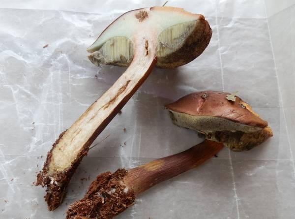 Мякоть польского гриба фото (Boletus badius, Imleria badia)