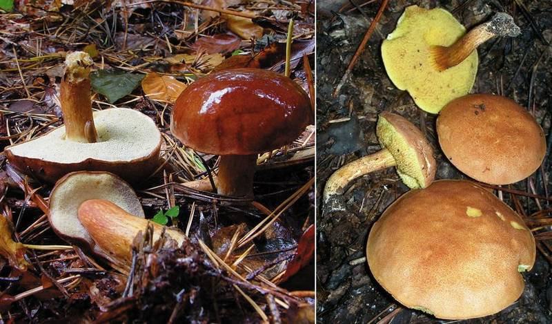 Отличие польского гриба (Boletus badius, Imleria badia) от моховика тёмно-коричневого (Xerocomus ferrugineus) фото