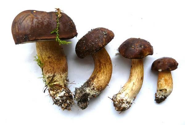 Польские грибы фото (Boletus badius, Imleria badia)