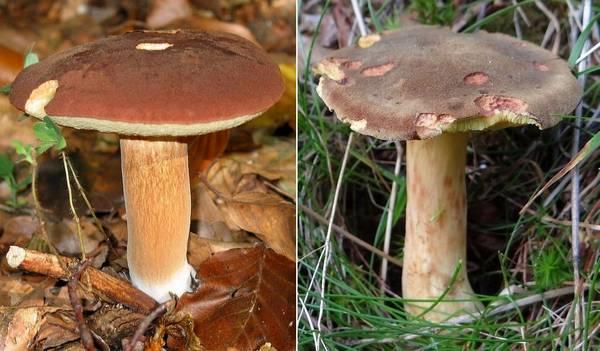 Чем отличается польский гриб (Boletus badius, Imleria badia) от моховика темно-коричневого (Xerocomus ferrugineus) фото