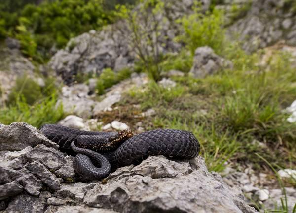 Гадюка обыкновенная в горах фото