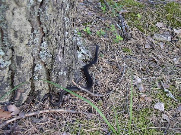 Гадюка обыкновенная в лесу фото (Vipera berus)