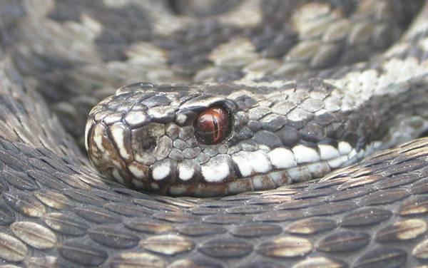 Глаза гадюки обыкновенной фото (Vipera berus)
