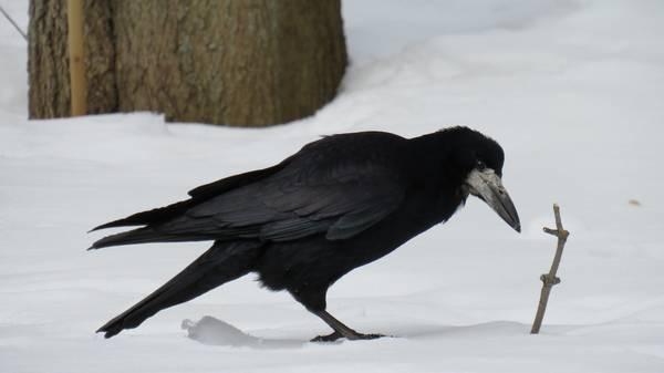 Грач зимой фото (Corvus frugilegus)
