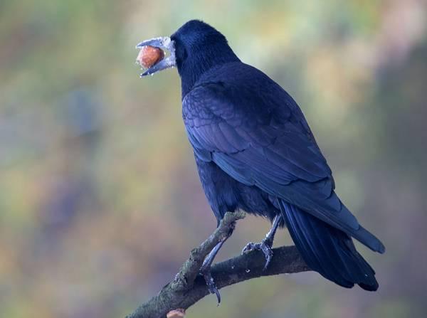Грач и его добыча фото (Corvus frugilegus)