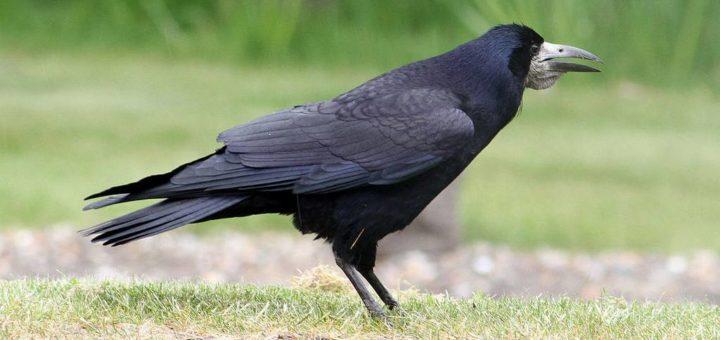 Грач фото (Corvus frugilegus)