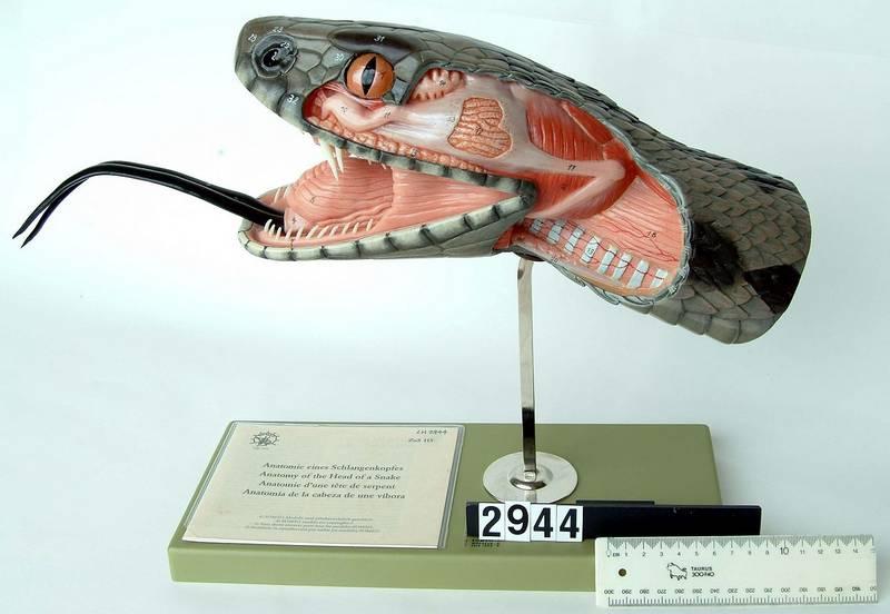 Зубы гадюки обыкновенной фото (Vipera berus)