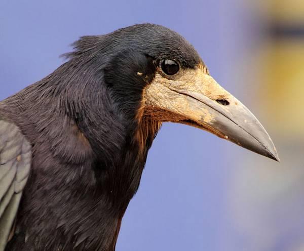 Клюв грача фото (Corvus frugilegus)
