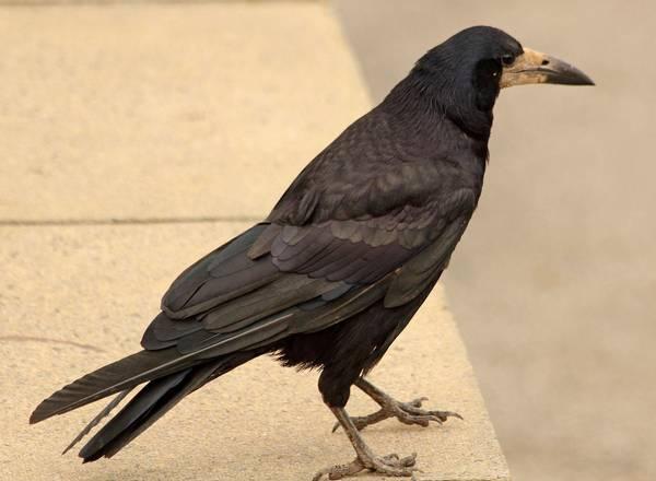 Лапы грача фото (Corvus frugilegus)