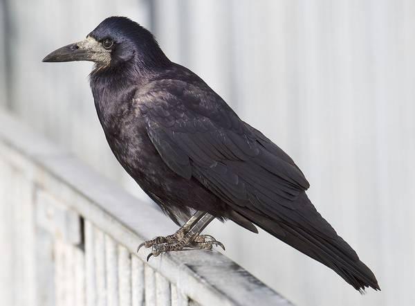 Оперение грача фото (Corvus frugilegus)