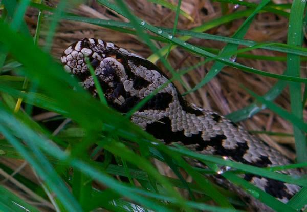 Серая гадюка обыкновенная фото (Vipera berus)