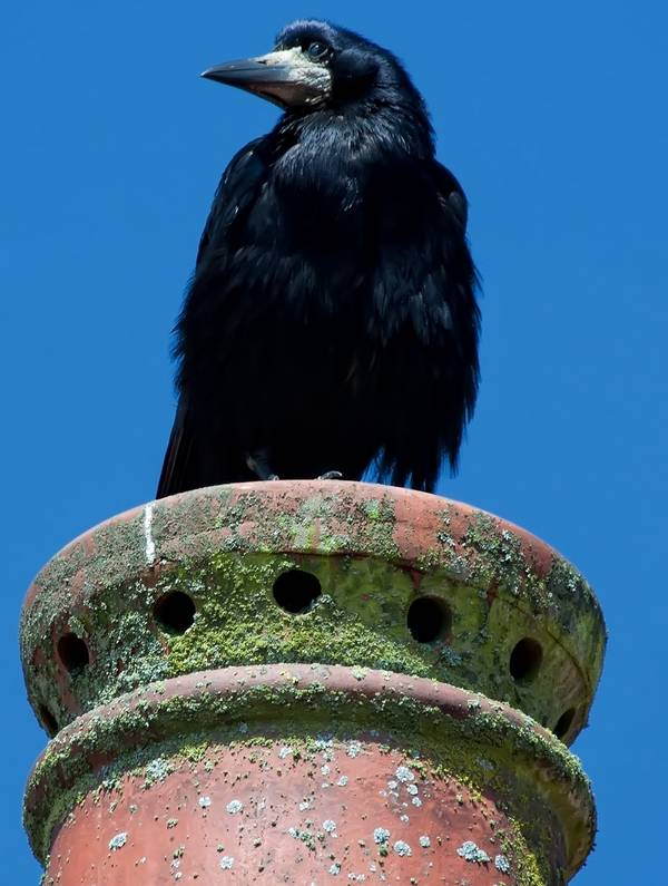 Старый грач фото (Corvus frugilegus)
