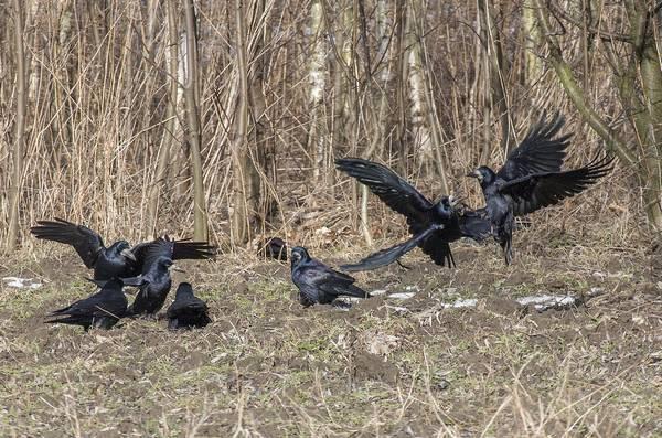Токование грачей фото (Corvus frugilegus)