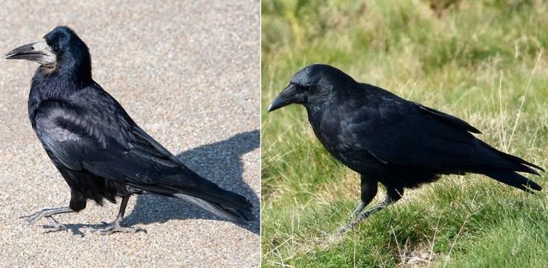 Фото грача (Corvus frugilegus) и вороны (Corvus corone)