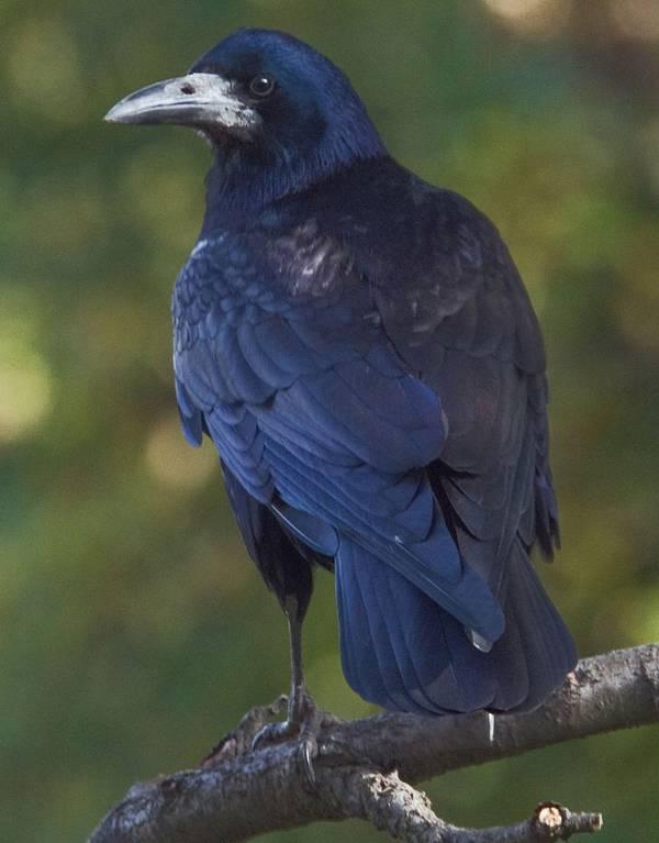 Хвост грача фото (Corvus frugilegus)