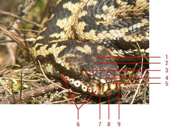 Щитки на голове обыкновенной гадюки фото (Vipera berus)