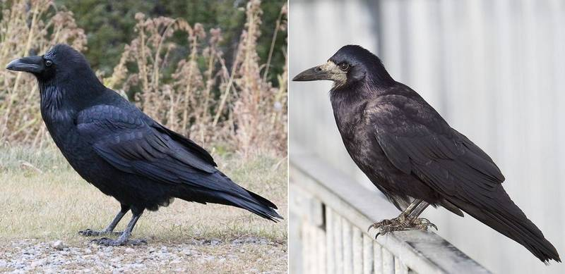 Ворон (Corvus corax) и грач (Corvus frugilegus) отличия фото