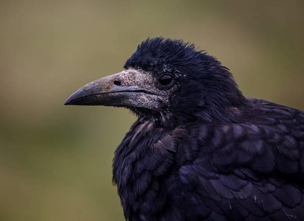 Глаза грача фото (Corvus frugilegus)