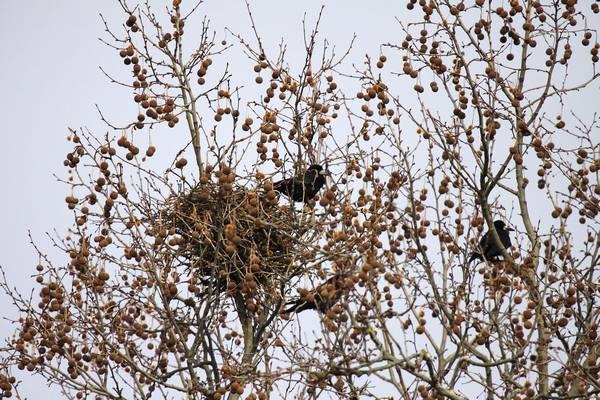 Гнездо грача фото (Corvus frugilegus)