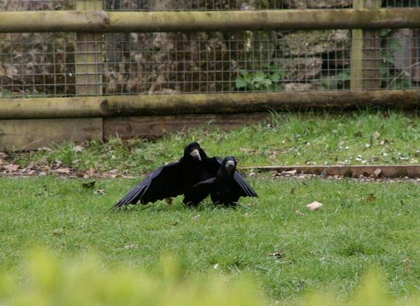 Грачи в вольере фото (Corvus frugilegus)