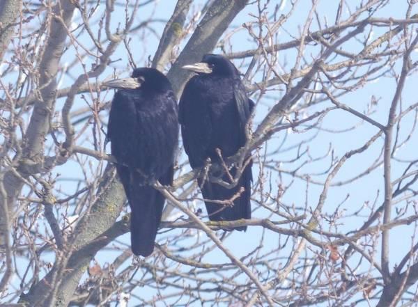 Грачи самец и самка фото (Corvus frugilegus)