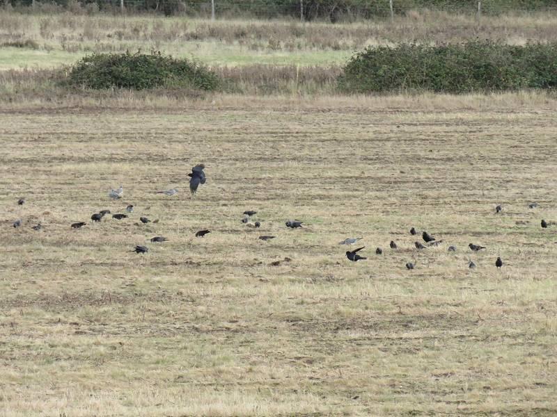 Грачи ходят по пашне фото (Corvus frugilegus)