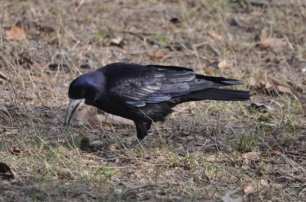 Грач в поисках пищи фото (Corvus frugilegus)