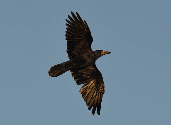 Грач в полете фото (Corvus frugilegus)