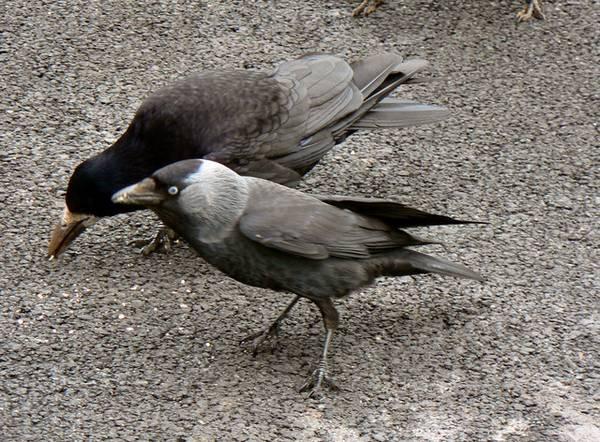 Грач и галка фото (Corvus frugilegus)