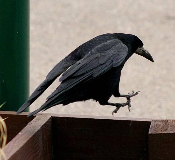 Грач прыгающий по забору фото (Corvus frugilegus)