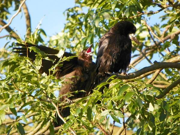 Птенец грача, требующий еды фото (Corvus frugilegus)
