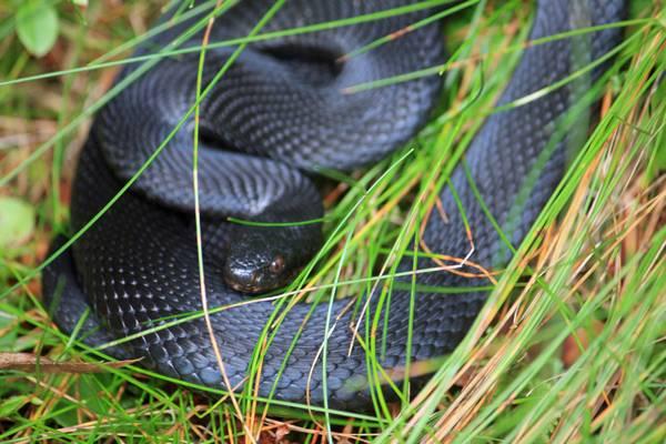 Чёрная гадюка обыкновенная (меланист) фото (Vipera berus)
