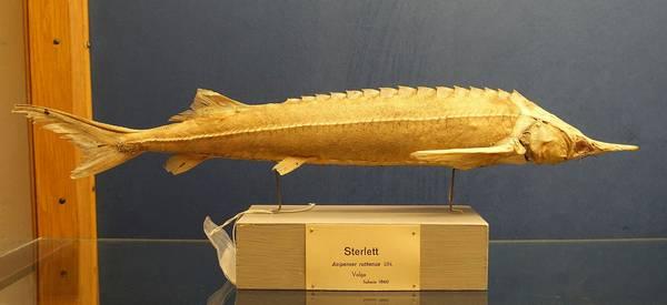 Стерлядь в шведском музее Естественной истории, Стокгольм фото (Acipenser ruthenus)