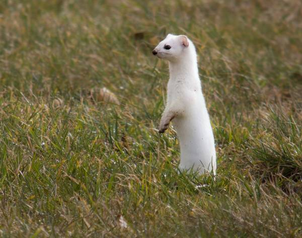 Белый горностай фото (лат. Mustela erminea)