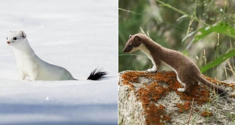 Горностай зимой и летом фото (лат. Mustela erminea)