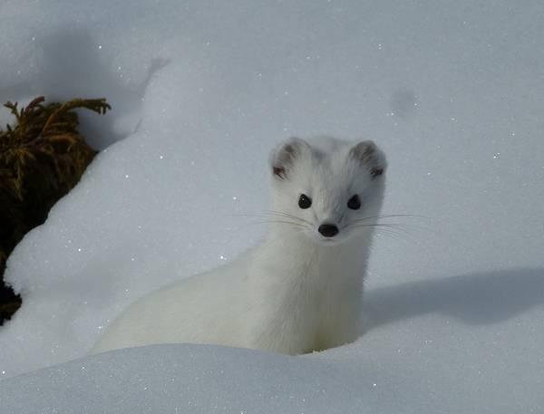 Горностай на снегу фото (лат. Mustela erminea)