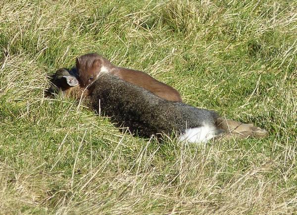 Горностай поймал кролика фото (лат. Mustela erminea)