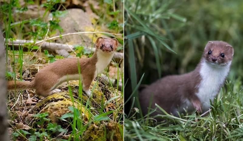 Горностай (Mustela erminea) и ласка (Mustela nivalis) отличия фото