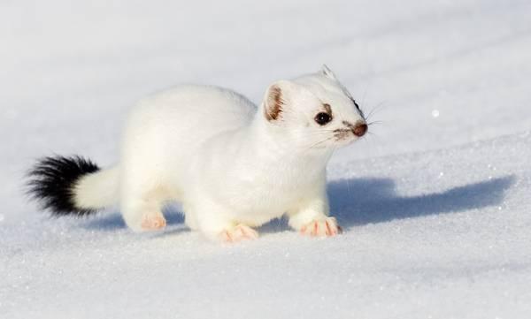 Лапы горностая зимой фото (лат. Mustela erminea)