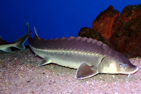 Рыба стерлядь фото (Acipenser ruthenus)