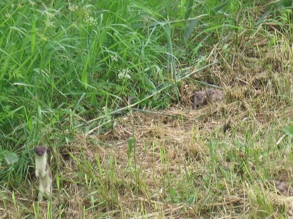 Самка горностая с детёнышами фото (лат. Mustela erminea)