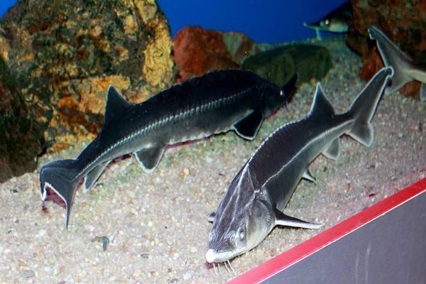 Стерлядь в аквариуме фото (Acipenser ruthenus)