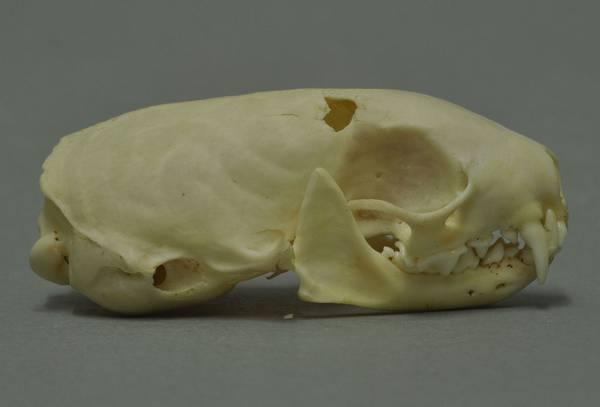 Череп горностая фото (лат. Mustela erminea)