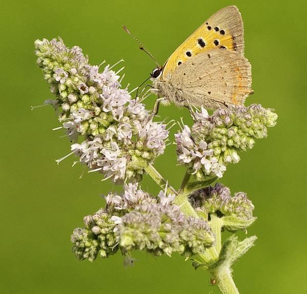 Бабочка на цветке мяты фото