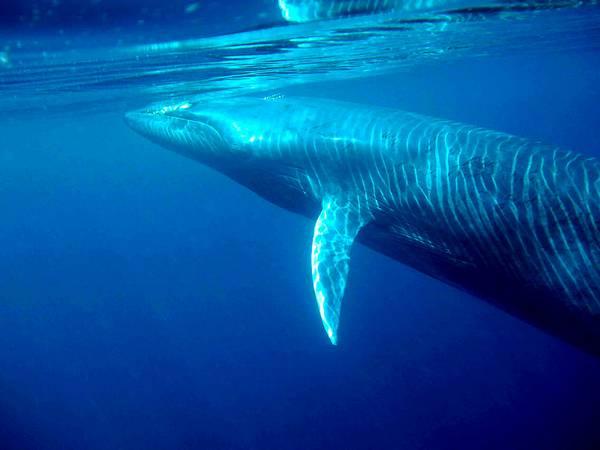 Глаза блювала (синего кита) фото (Balaenoptera musculus)